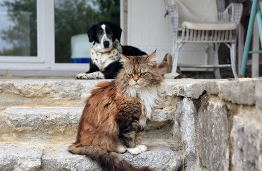 ko je inteligentiji pas ili macka? Mačka, Pas, pas, mačka, inteligencija, životinje, najnovije vesti, magazin
