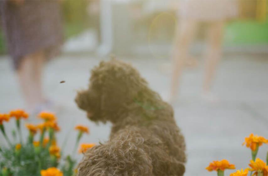 Lagotto Romagnolo, pas, kucni ljubimci