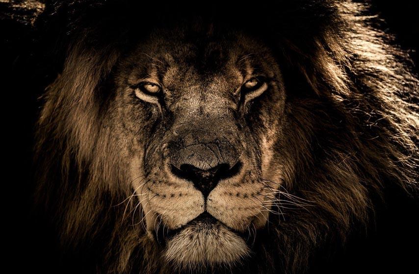 kucni ljubimac lav