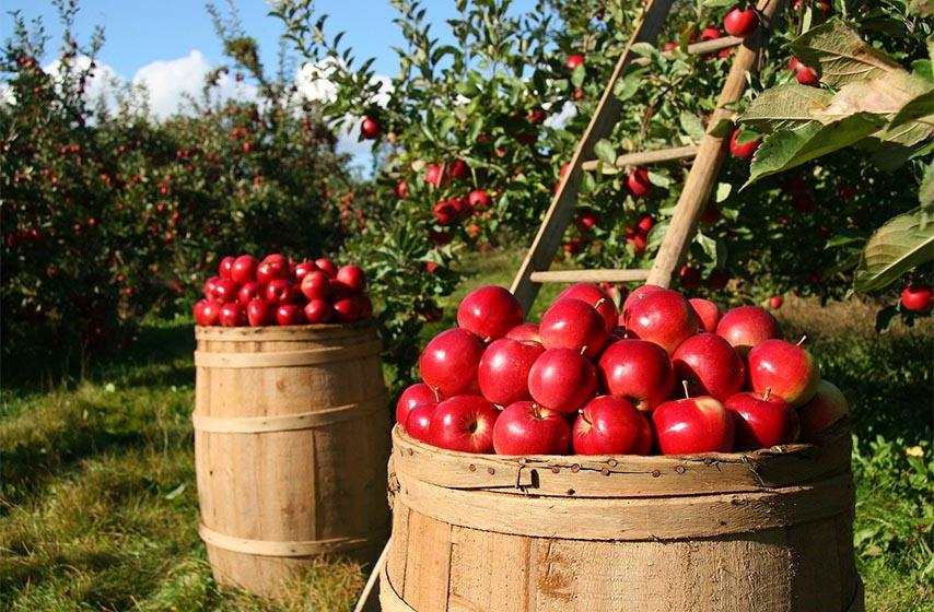 jabuka, zdravlje