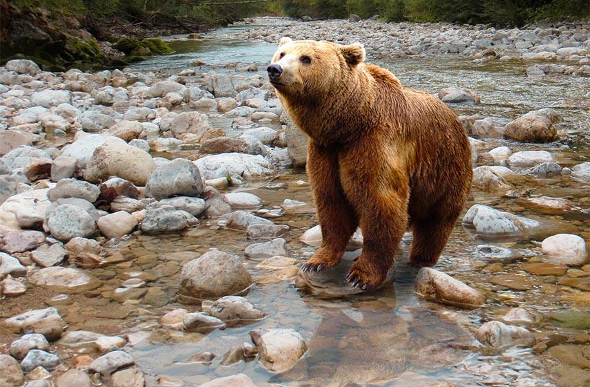 mrki medved, medved, tara