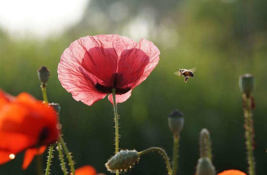 azil za pčele, pčele