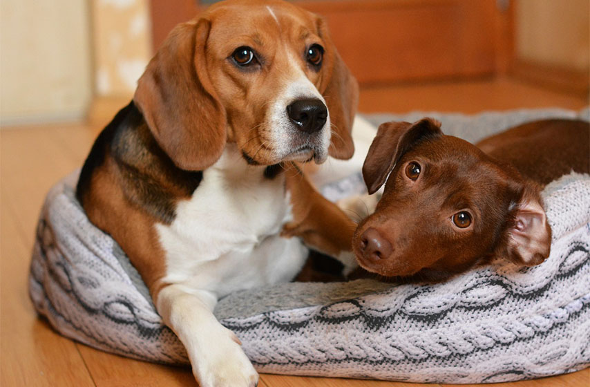najpopularnije rase pasa, rasa pasa
