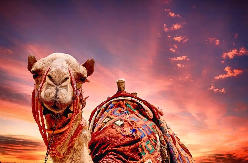 uhapsen zbog kradje mladunca kamile