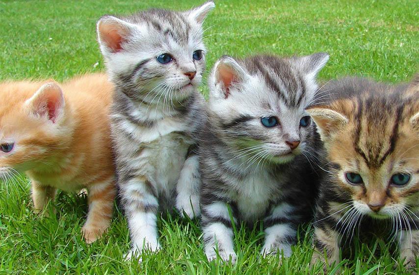 macka, maca, kucni ljubimci