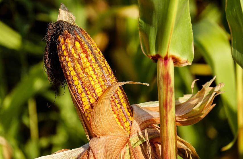 cena kukuruza, cena nafte, cena semena