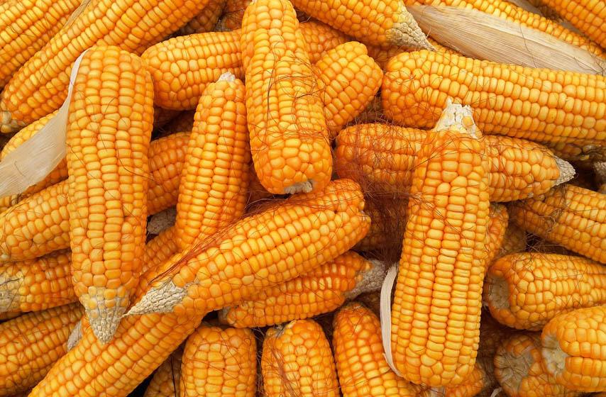 kukuruz cena, cena kukuruza, kukuruz