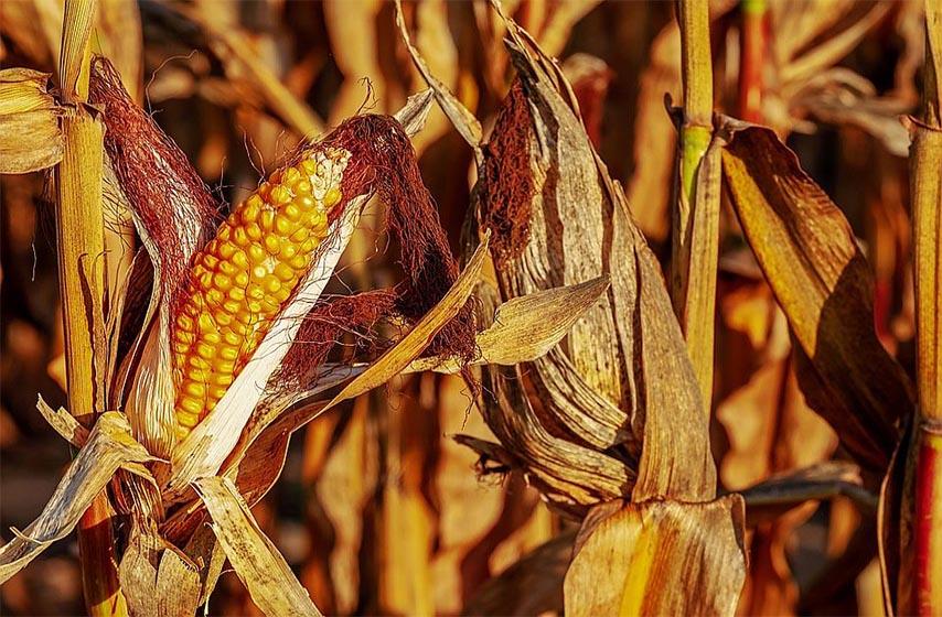 susa, rod poljoprivrednih kultura