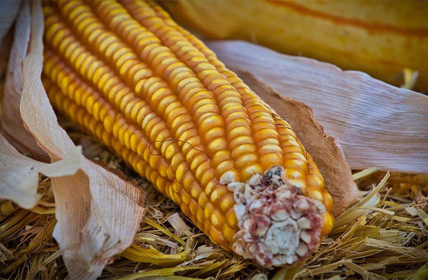 rod kukuruza