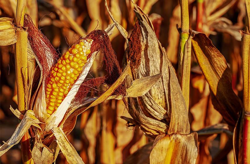 rod kukuruza, juznobanatski ratari, dani suncokreta pancevo