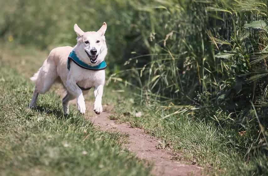 pas često laje