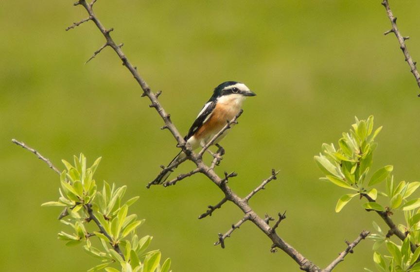 dugorepi svracak, vrsta ptice