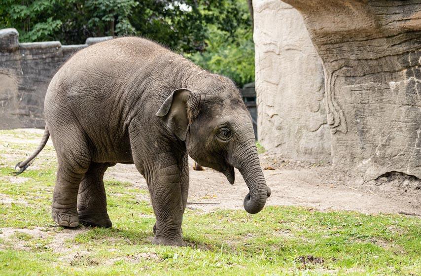 slonovi, medicinska marihuana, stres
