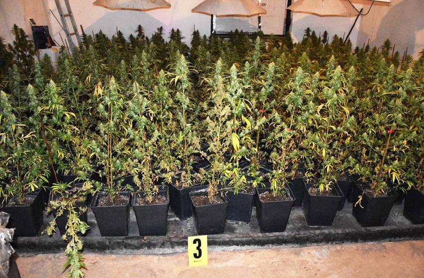 policija, pancevo, laboratorija za uzgoj marihuane