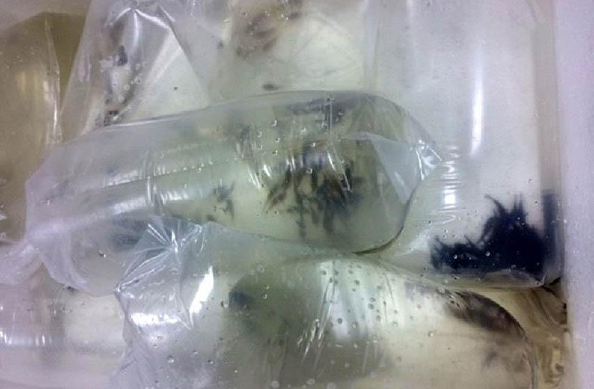 horgoš, zaplena, akvarijumske ribice