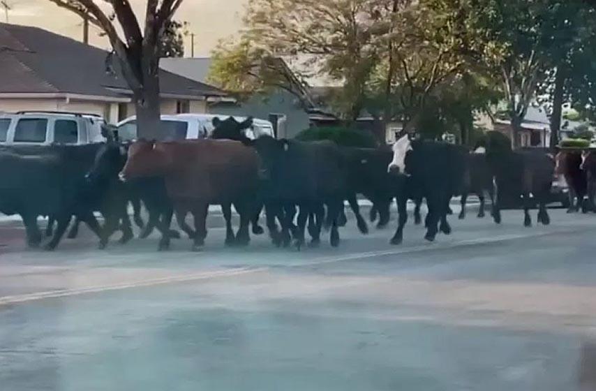 odbegla krava