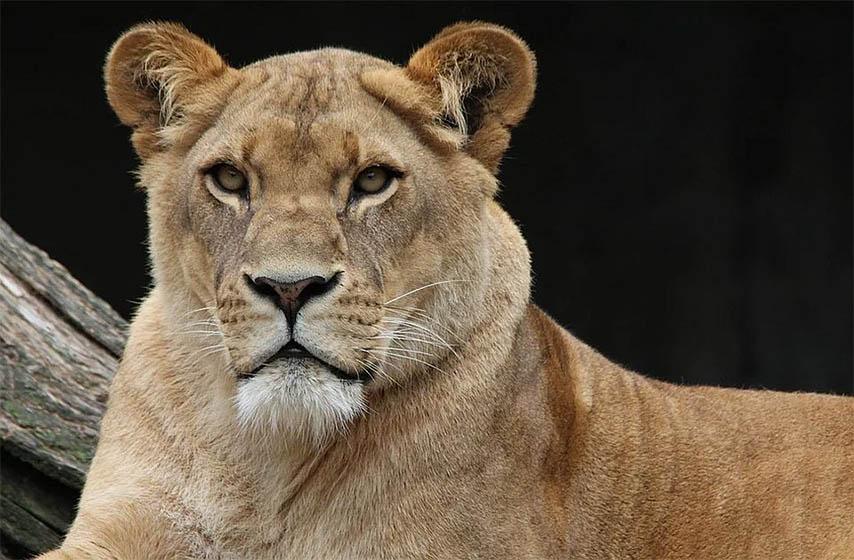 mladunci lava, uginuli lavici u subotickom zoo vrtu