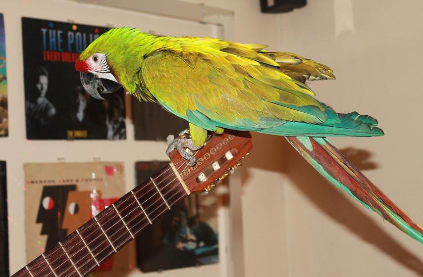 ptica kucni ljubimac, papagaj