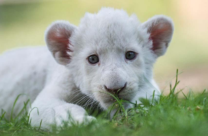 simba, lav rodjen vestackom oplodnjom