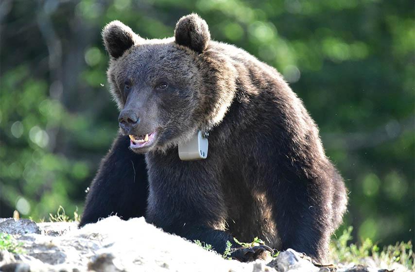 mladi mrki medved, medved zarko