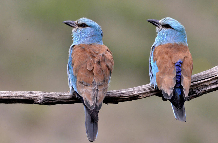 Modrovrana, Bačka, ptica