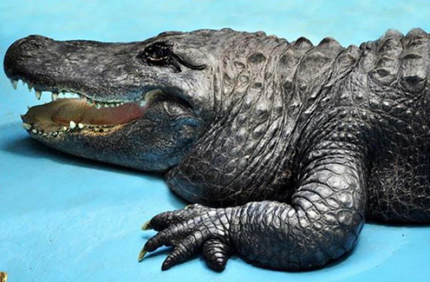 Beo Zoo-vrt, zoološki vrt, Beograd, Muja, aligator