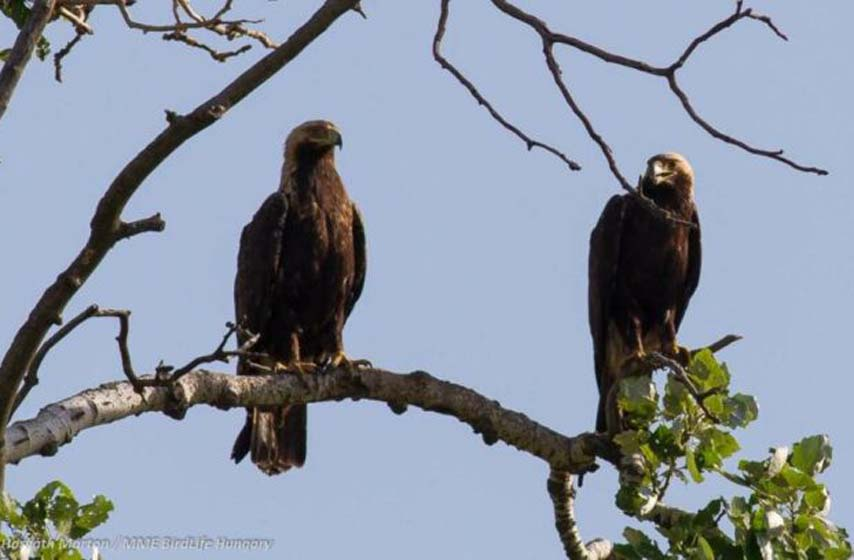 orlovi krstasi, orlovi krstasi se vracaju u srbiju, drustvo za zastitu i proucavanje ptica srbije