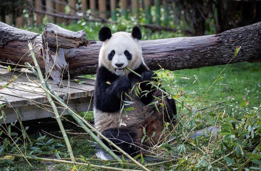 panda, zoo vrt, njujork
