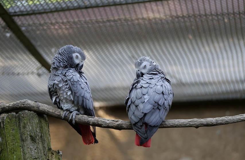 papagaji, africki sivi papagaj, zoo vrt