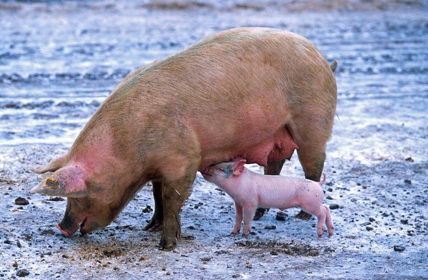 srbija, proizvođači svinjskog mesa