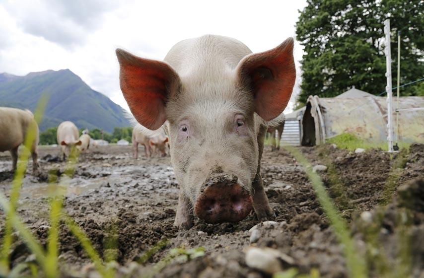 stocarstvo, tovno svinjrstvo, unija poljoprivrednih proizvodjaca