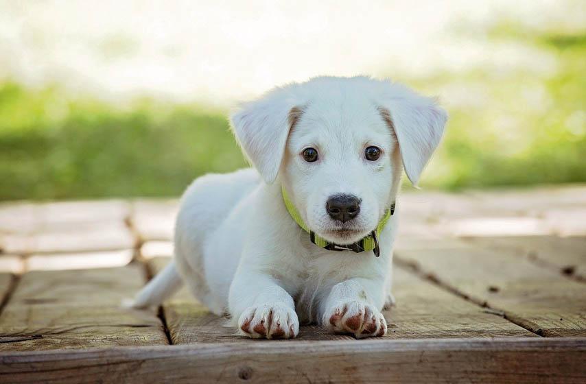 rase pasa koji su najveće maze