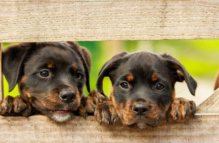 računanje starosti psa, koliko je star pas, metoda računanja starosti psa, ljubimci, pas, psi, godine, magazin