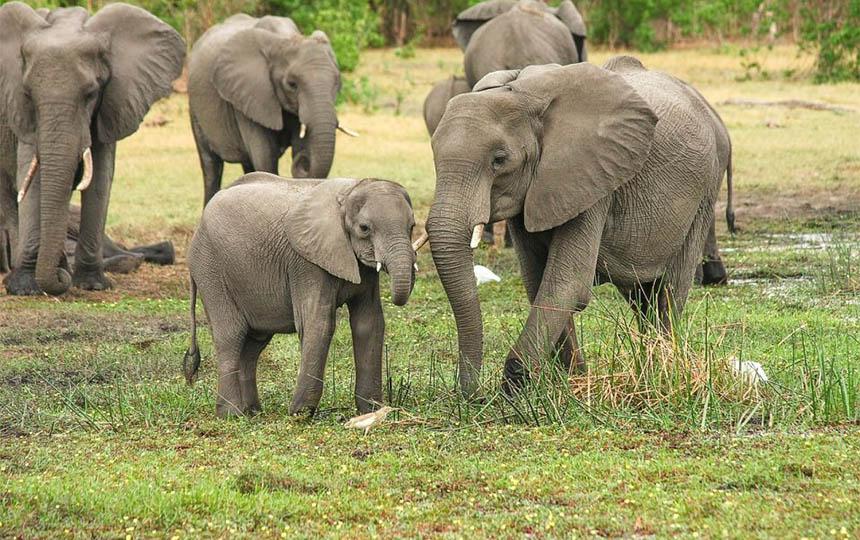 slon pobegao iz krda