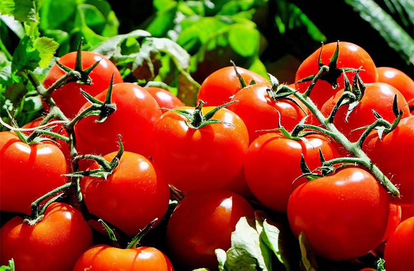 branislav nedimovic, proizvodjaci paradajza