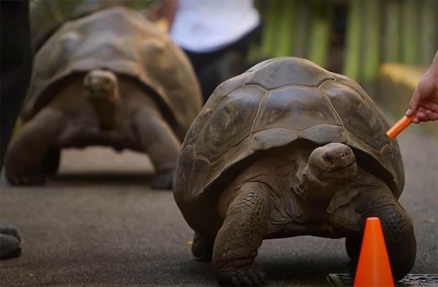 trke kornjaca sa galapagosa